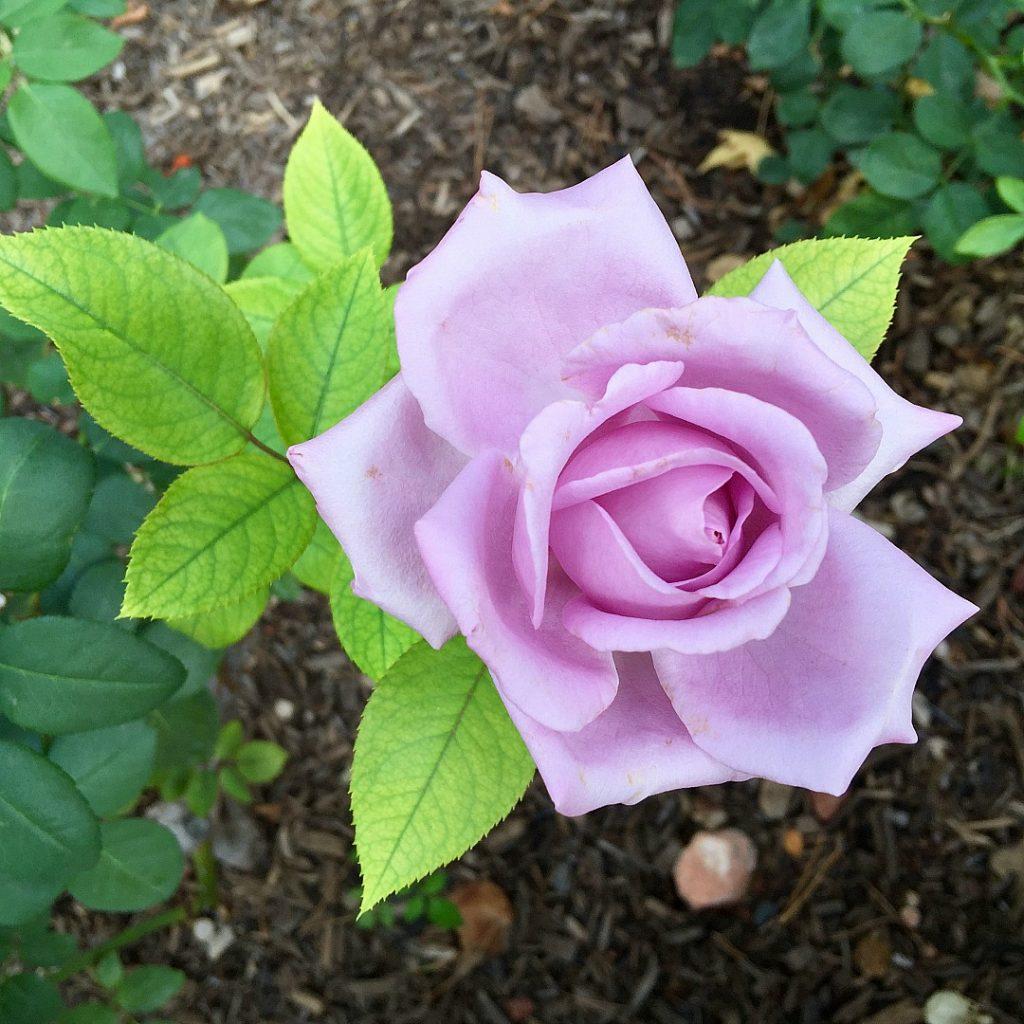tlaquepaque rose